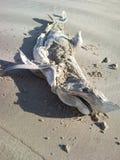 Lavado encima de tiburón muerto en la playa Fotos de archivo
