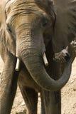Lavage d'éléphant Photos libres de droits