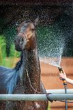 Lavage de cheval de baie Photo stock