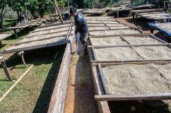 Lavage et grains de café de séchage. Image stock