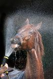 Lavage rouge de cheval Photos libres de droits