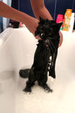 Lavagem de um gato preto no banho Fotografia de Stock