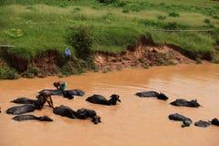 Lavagem do búfalo Fotos de Stock