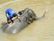 Lavagem do elefante, Tailândia Fotografia de Stock