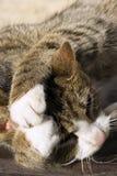 Lavagem do gato imagem de stock