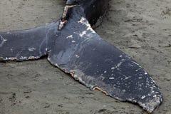 Lavagens da baleia de Humpback em terra e morrido imagem de stock