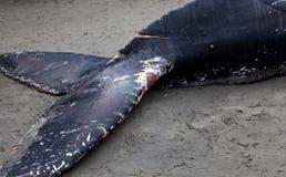 Lavagens da baleia de Humpback em terra e morrido imagens de stock