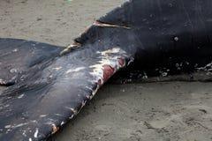 Lavagens da baleia de Humpback em terra e morrido fotos de stock