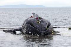 Lavagens juvenis da baleia de Humpback em terra e morrido fotografia de stock