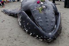 Lavagens juvenis da baleia de Humpback em terra e morrido imagens de stock
