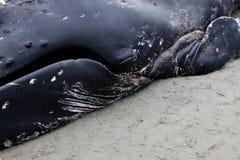 Lavagens juvenis da baleia de Humpback em terra e morrido fotografia de stock royalty free