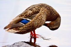 Lavages de canards Photographie stock libre de droits