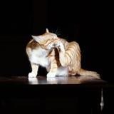 Lavages de chat de gingembre sur un fond noir Photo stock