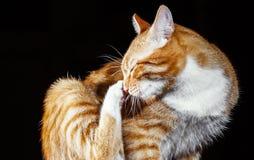 Lavages de chat de gingembre sur un fond noir Photographie stock