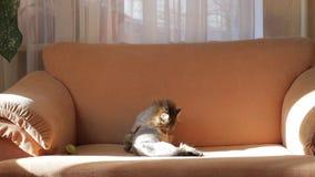 Lavages gris rasés d'un chat sur le divan Concept des soins des animaux banque de vidéos