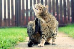 Lavaggi del gatto domestico Fotografie Stock