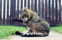 Lavaggi del gatto domestico Fotografia Stock Libera da Diritti