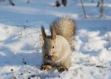 Lavaggi dello scoiattolo Immagine Stock