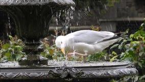 Lavaggio britannico del gabbiano dell'airone e bere in fontana del giardino del parco video d archivio