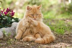 Lavaggio del gatto Immagine Stock