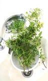 Lavaggio dell'erba del basilico pulito in bacino Immagini Stock Libere da Diritti