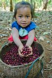 Lavan ethnic girl and  coffee berries. SALAVAN,LAO P D R - JANUARY 25 ; Unidentified is smiling for photo with coffee berries in her hands at vangyawn village Stock Images