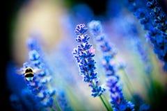 Lavanda开花与蜂的开花宏指令 免版税库存图片