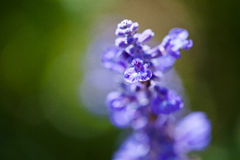 Lavanda Photographie stock