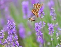 Lavanda, abeja de la miel y y mariposas de acoplamiento Fotografía de archivo