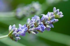 lavanda allineare (angustifolia del Lavandula) Immagine Stock Libera da Diritti