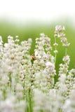 Lavanda blanca con la abeja Foto de archivo libre de regalías