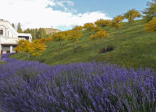 Lavanda bushes near farm house and white clouds in the blue skies. Blue-purple lavanda bushes near farm house and white clouds in the blue skies. Green grass on Stock Images