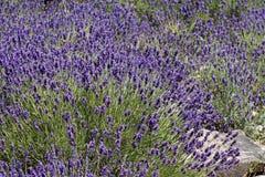 Lavanda comune (angustifolia del Lavandula) Immagini Stock