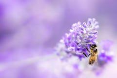 Lavanda con el foco suave de la abeja Fotografía de archivo