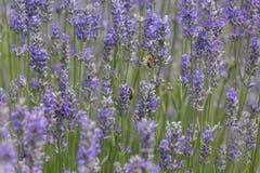 Lavanda con la abeja de la miel Foto de archivo libre de regalías
