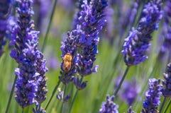 Lavanda con una abeja Fotografía de archivo