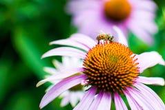 Lavanda Coneflower con la abeja Imagen de archivo