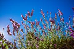 Lavanda contra el cielo azul en Provence Fotografía de archivo