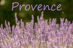 Lavanda de la lila en la Provence francesa fotos de archivo libres de regalías