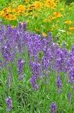 Lavanda de la primavera de la naturaleza imagenes de archivo