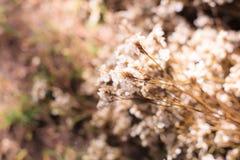 Lavanda de mar inocente blanca de Airy Limonium, statice, caspia, flores del romero de pantano, fondo natural del Wildflower Flor foto de archivo