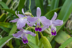 Lavanda delicata ed orchidee porpora Immagini Stock