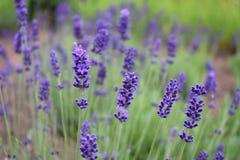 Lavanda di fioritura di estate fotografie stock libere da diritti