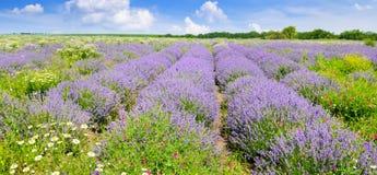 Lavanda di fioritura in un campo su un fondo di cielo blu Shallo Fotografia Stock Libera da Diritti