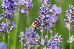 Lavanda en la floración con la abeja Fotos de archivo libres de regalías