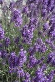 Lavanda en la plena floración Imagen de archivo