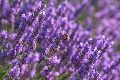 Lavanda en los campos del francés Provence, fondo de la flor de la naturaleza Imagen de archivo libre de regalías