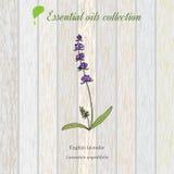 Lavanda, etiqueta del aceite esencial, planta aromática Imágenes de archivo libres de regalías