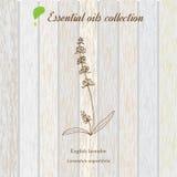 Lavanda, etiqueta del aceite esencial, planta aromática Imagen de archivo