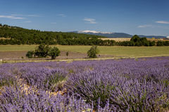 Lavanda fields and Mont Ventoux in background, Provence Stock Photography